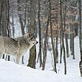 Timber Wolf In Winter by Wolves Only