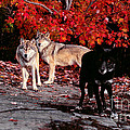 Timber Wolves Under  A Red Maple Tree by Les Palenik