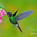 Tourmaline Sunangel Hummingbird by Anthony Mercieca