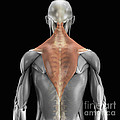 Trapezius Muscle With Skeleton by Science Picture Co