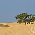 Tree In Field by John Shaw