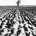 Tree In Snow by John Farnan