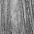 Trees Along A Road, Log Cabin Gold by Panoramic Images
