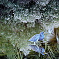 Tri Colored Heron by Rosanne Jordan