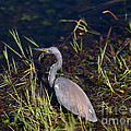 Tricolored Heron by Tracy Knauer