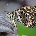 Tropical Butterfly by Tony Murtagh
