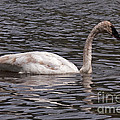 Trumpeter Swan by Fred Stearns