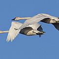 Trumpeter Swans by Bob Stevens