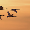 Trumpeter Swans In Flight At Sunset by Panoramic Images