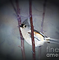 Tufted Titmouse by Betty LaRue