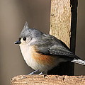 Tufted Titmouse by David Byron Keener