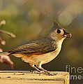 Tufted Titmouse by Debbie Portwood