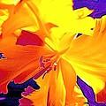 Tulip 6 by Pamela Cooper