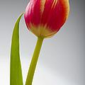 Tulip by Sebastian Musial