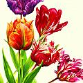 Tulips by Anthony Seeker