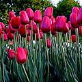 Tulips by Hussain Chirathodi