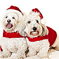 Two Cute Dogs In Santa Outfits by Elena Elisseeva