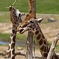 Two Reticulated Giraffes  - Giraffa Camelopardalis by Jason O Watson
