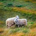Two Sheep by Alexey Stiop