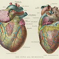 Two Views Of The Heart, With  The Parts by Mary Evans Picture Library