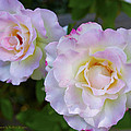 Two White Roses by Floyd Snyder