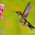 Tyrian Metaltail Hummingbird by Anthony Mercieca
