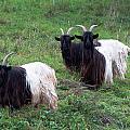 Valais Blackneck Goats by Frank Gaertner