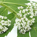 Valerian Flowers (valeriana Officinalis) by Bildagentur-online/th Foto/science Photo Library