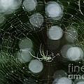 Venusta Orchard Spider by Donna Brown