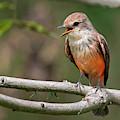Vermilion Flycatcher by Juan Jose Arango