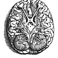 Vesalius: Brain by Granger