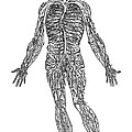 Vesalius: Venous System by Granger