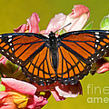 Viceroy Butterfly by Millard H. Sharp