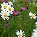View Of Daisy Flowers In Meadow by Panoramic Images