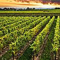 Vineyard At Sunset by Elena Elisseeva