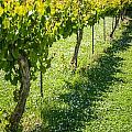 Vineyard Farm by Alex Grichenko