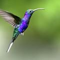Violet Sabrewing Hummingbird by Nicolas Reusens
