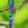Violet-tailed Sylph by Juan Jose Arango