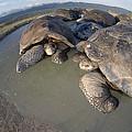 Volcan Alcedo Giant Tortoises Wallowing by Tui De Roy