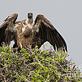 Vultures With Full Crops by John Shaw