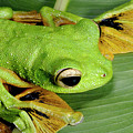 Wallace's Flying Frog by Sinclair Stammers/science Photo Library