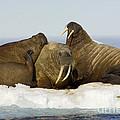 Walruses Resting On Ice Floe by John Shaw