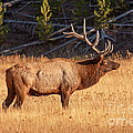 Wapiti Elk Bull In Yellowstone National Park by Fred Stearns