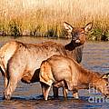 Wapiti Elk Cow And Calf In Yellowstone National Park by Fred Stearns