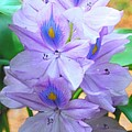 Water Hyacinth by Robert Floyd