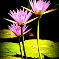 Water Lilies by Dave Wangsness