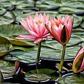 Water Lilies by Joyce Baldassarre