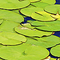 Water Lilly by David Letts