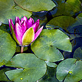 Water Lily by Barbara Smith