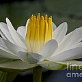 Water Lily by Heiko Koehrer-Wagner